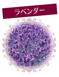 Lavender_w